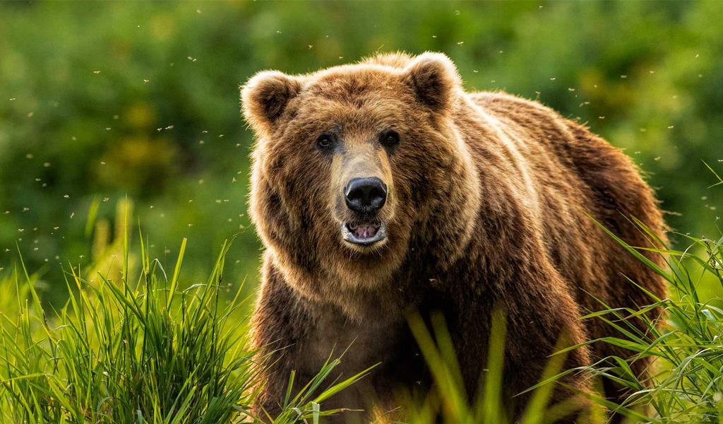 Kamchatka Brown Bear หมีคัมชัตคา ทัวร์รัสเซีย